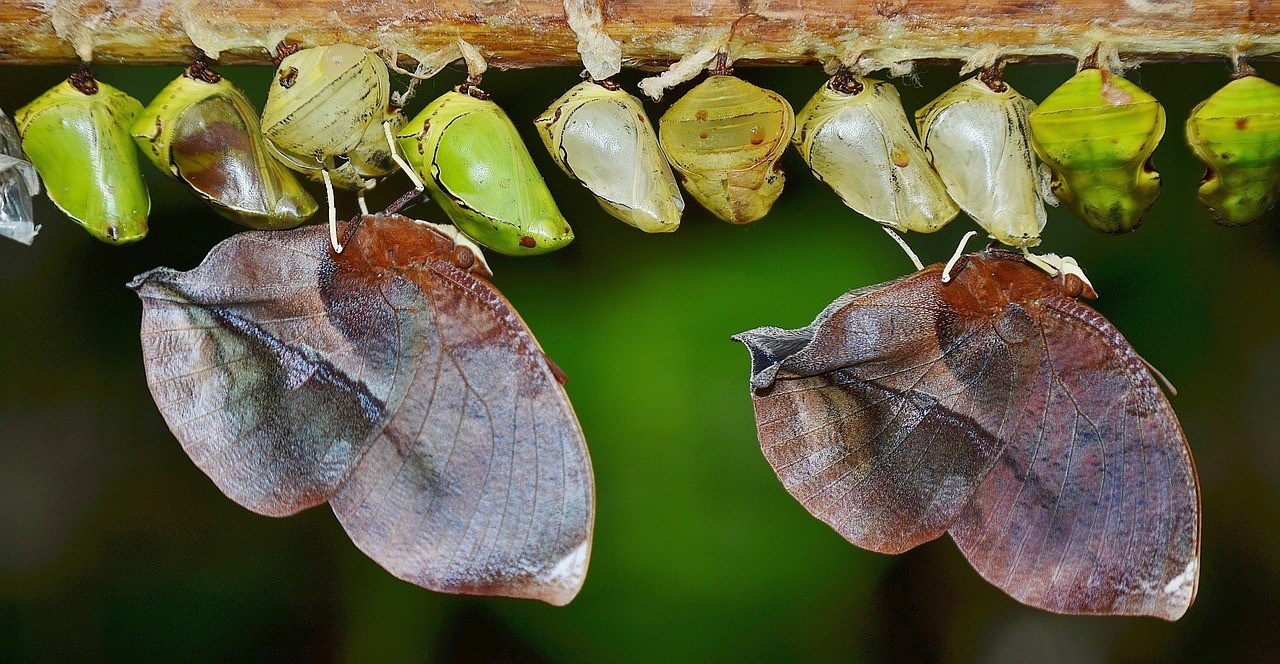 cocoons and butterflies